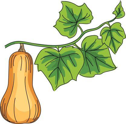 Cartoon Butternut Squash Vector Illustration.