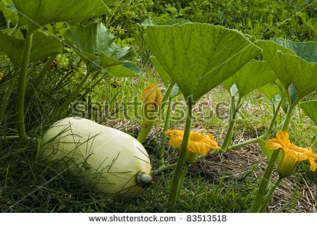 Squash Vine Stock Images, Royalty.