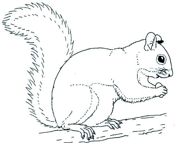 squirrel coloring page clipart