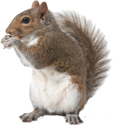 Squirrel PNG.