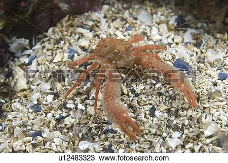 Stock Photo of Juvenile hairy British squat Lobster, Galathea nexa.