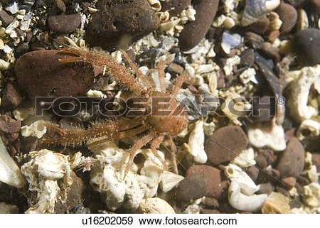 Stock Photograph of Juvenile hairy British squat lobster (Galathea.