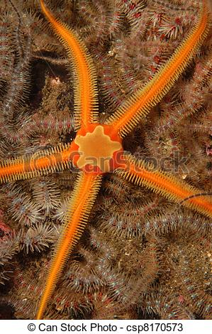 Stock Photos of Orange brittle star on bed of common brittle stars.