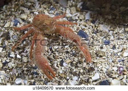 Stock Photography of Juvenile hairy British squat Lobster.