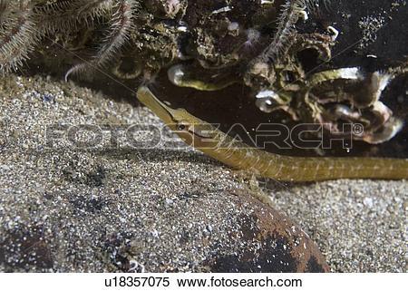 Stock Image of Snake Pipefish (Entelurus aequorus) on dark sand.