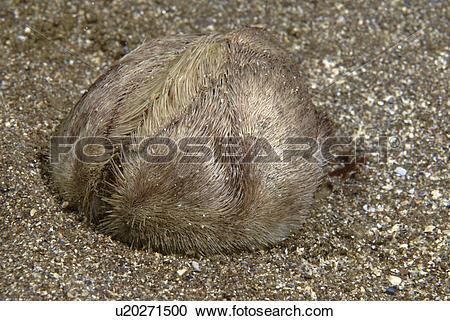 Stock Photography of Sea Potato (Echinocardium cordatum), profile.