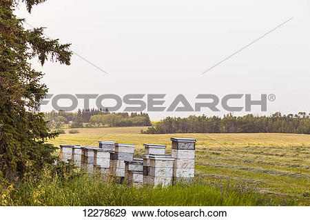 Stock Photograph of Stacks of beehives beside alfalfa field in.