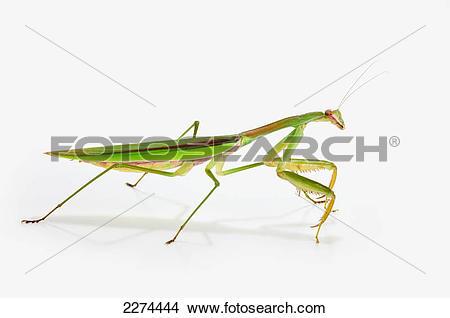 Stock Photo of Praying mantis on white background; st. albert.