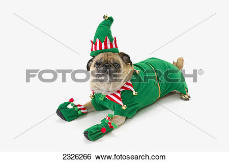 Stock Images of A pug in a christmas elf costume;St. albert.