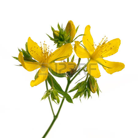 St John S Wort Flowers Stock Photos Images. Royalty Free St John S.