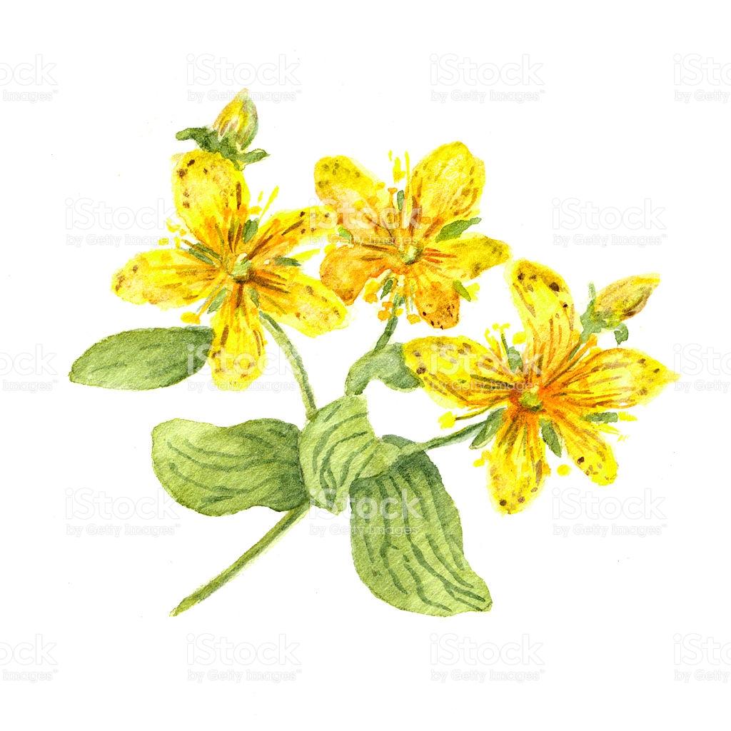 Hypericum Flower Johns Wort Plant Watercolour stock vector art.