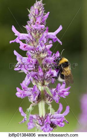 "Stock Images of ""Garden Bumblebee (Bombus hortorum) feeding on."