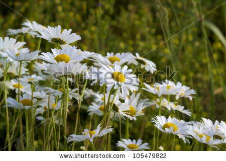 """""""white_wildflower"""" Stock Photos, Royalty."""