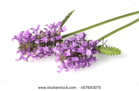 Purple Heather Flowers Reflections On White Stock Photo 51015055.