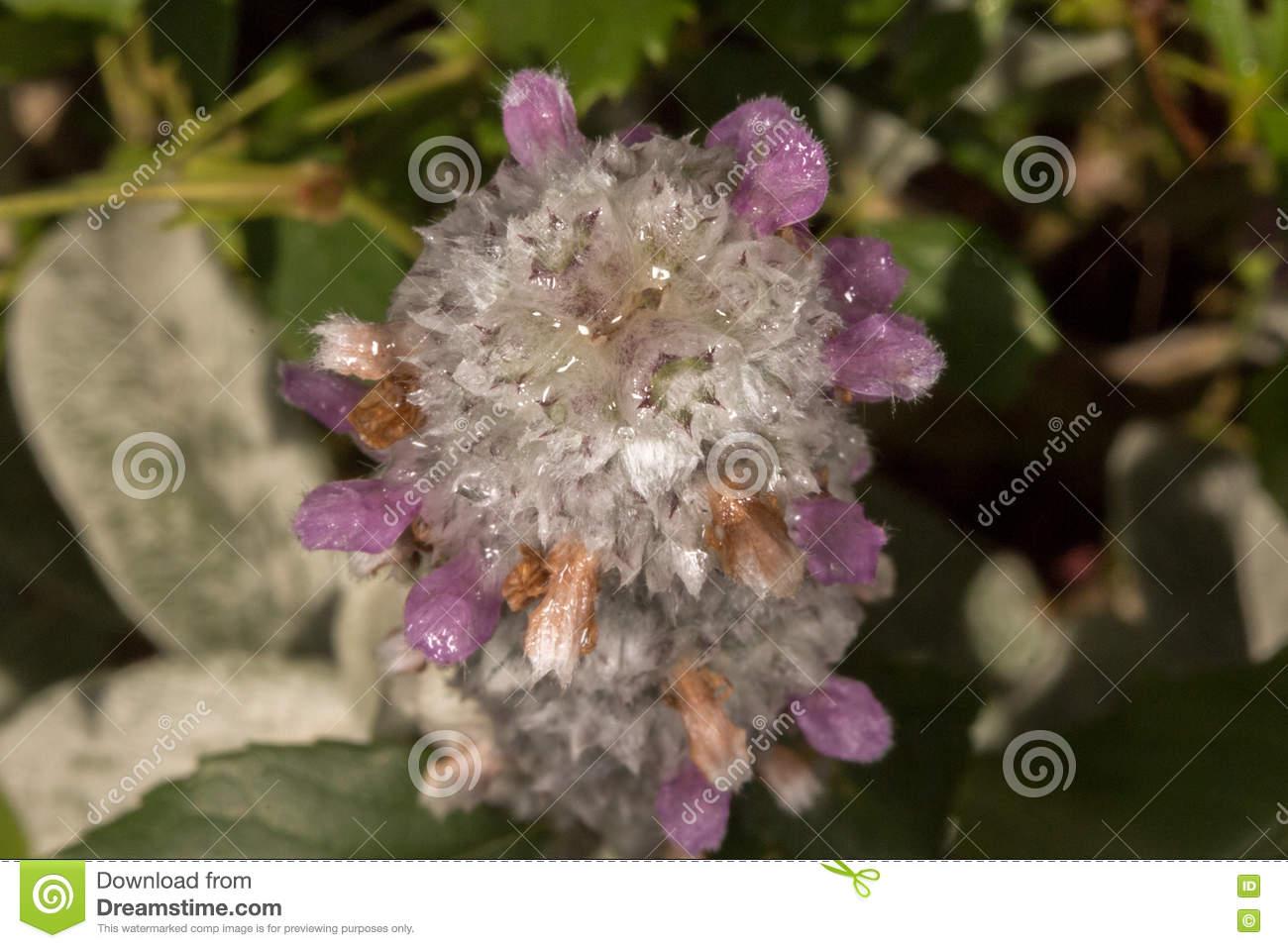Stachys Lanata Rabbit's Ear Plant Silver Soft Leaf Stock Photo.