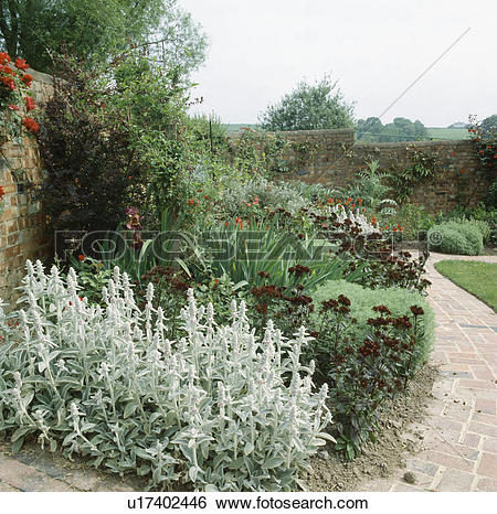 Stock Images of Stachys lanata in border of walled country garden.