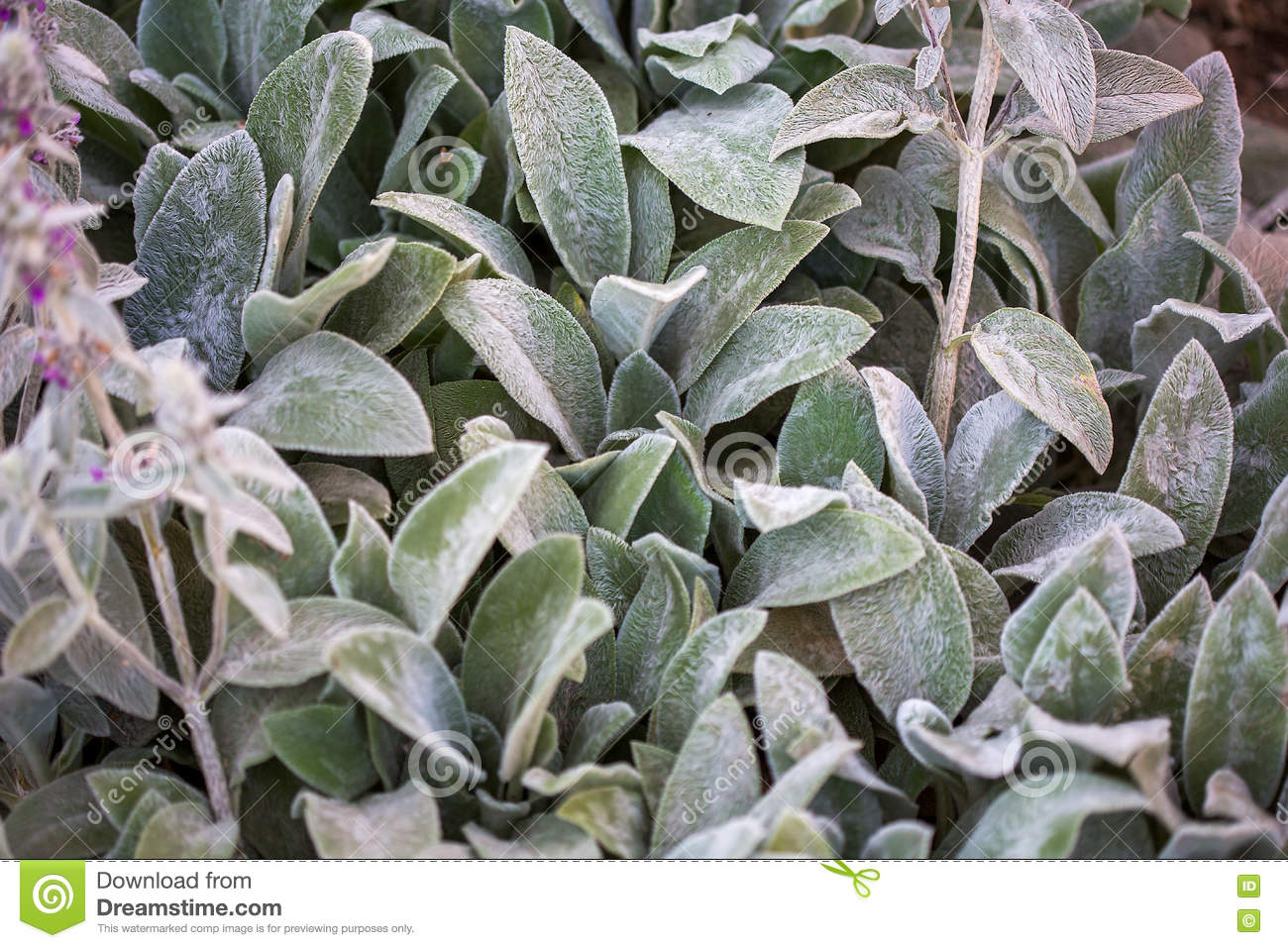 Leaves Of Stachys Byzantina, Lamiaceae (woolly Hedgenettle.