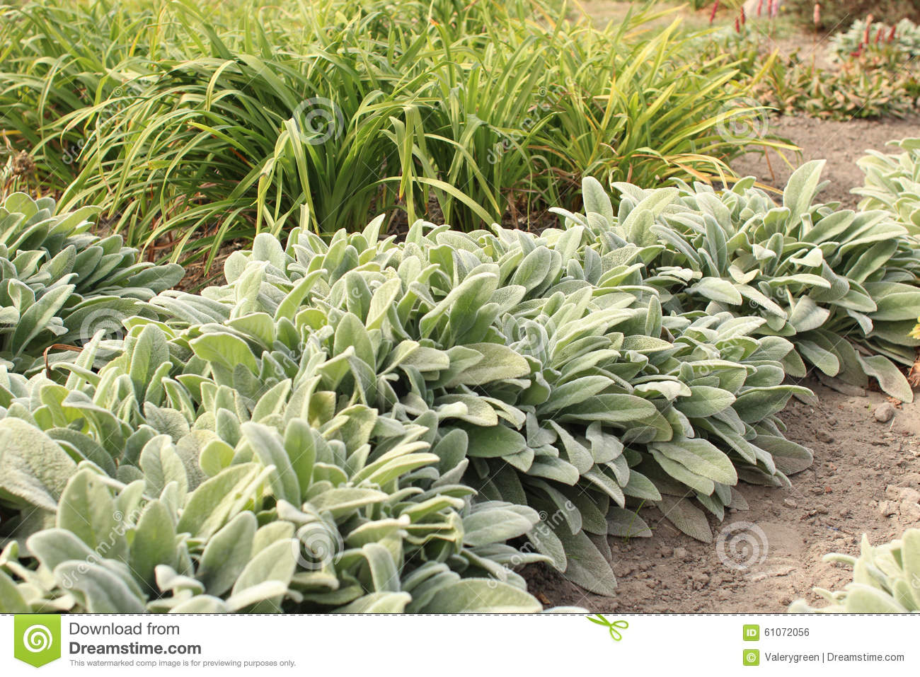 Stachys Lanata (Stachys Byzantina) In The Garden Stock Photo.
