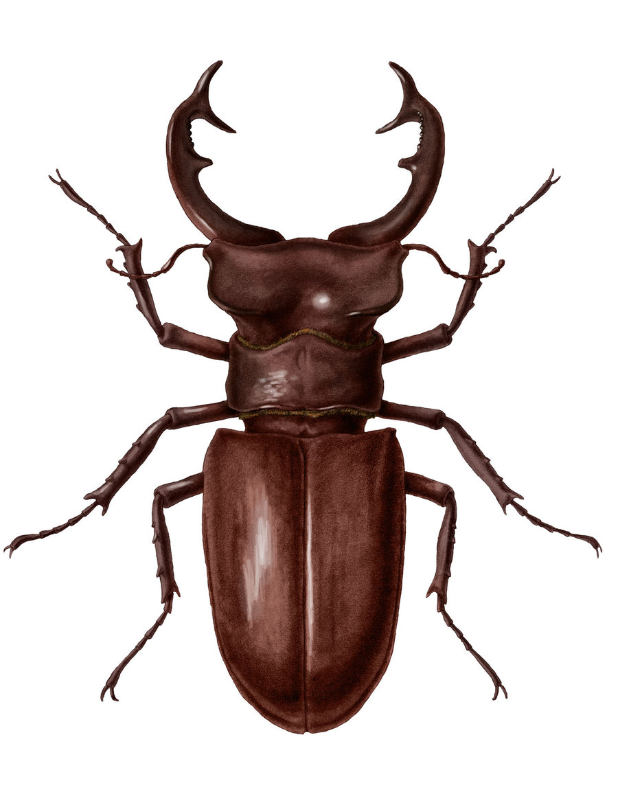 Stag beetle clipart clipground