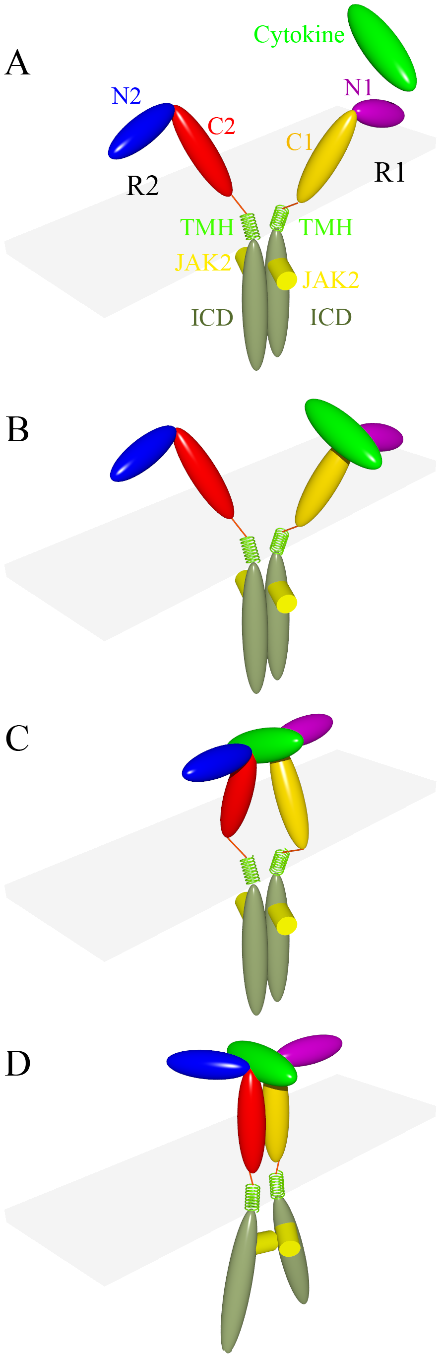 A Common Model for Cytokine Receptor Activation: Combined Scissor.