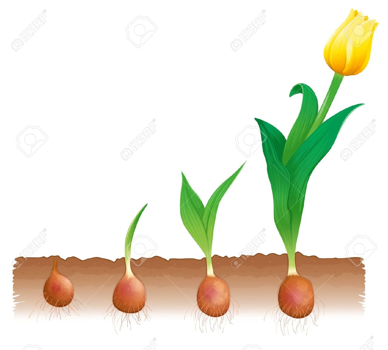 Flower growing stages clipart.