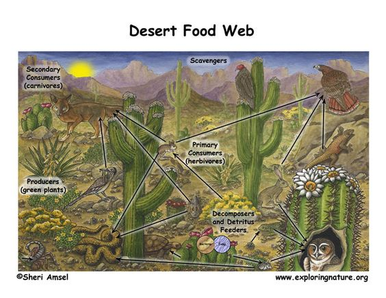 Desert Food Web.