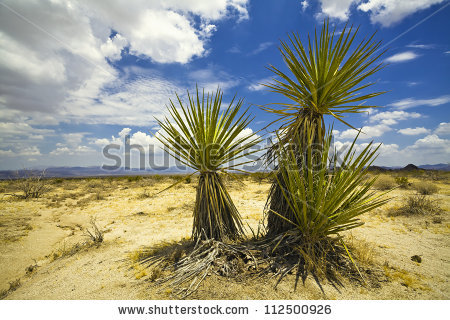 Desert Fan Palm Stock Photos, Royalty.