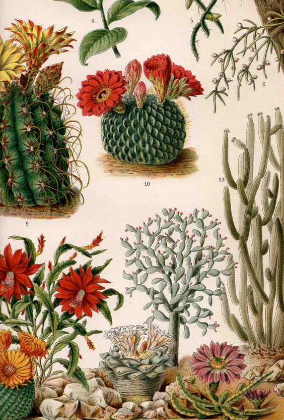 1894 cactus plants original antique desert botanical print.