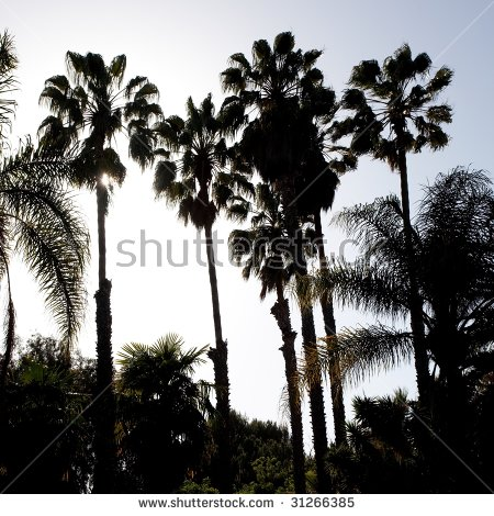 Desert Fan Palms Stock Photos, Royalty.