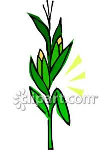 Clipart corn stalk.
