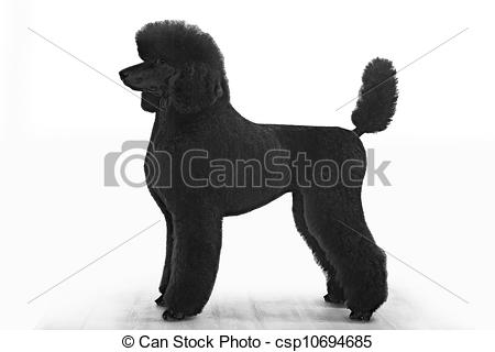 Pictures of standard poodle on white background csp10694685.