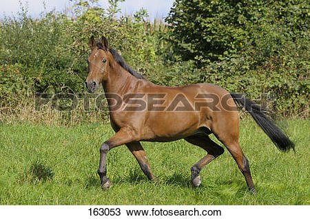 Stock Photo of American Standardbred horse on meadow 163053.