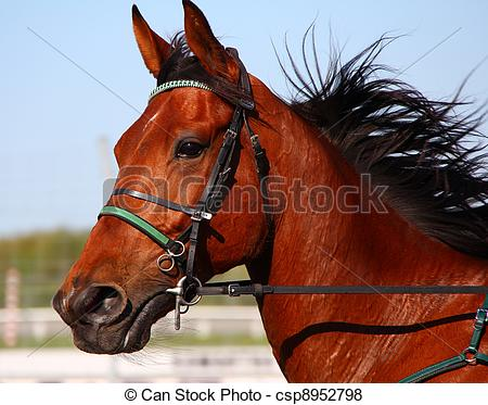 Pictures of Harness Racing Pacer.