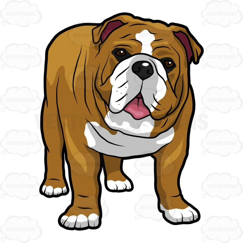 English Bulldog Standing With Its Mouth Open #allfours.