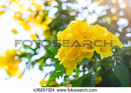 Stock Photo of Tecoma stans or Yellow Trumpet bush flower.