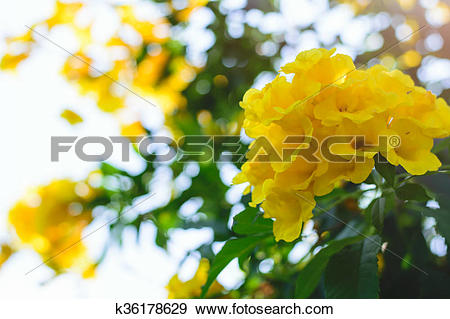 Stock Photograph of Tecoma stans or Yellow Trumpet bush flower.