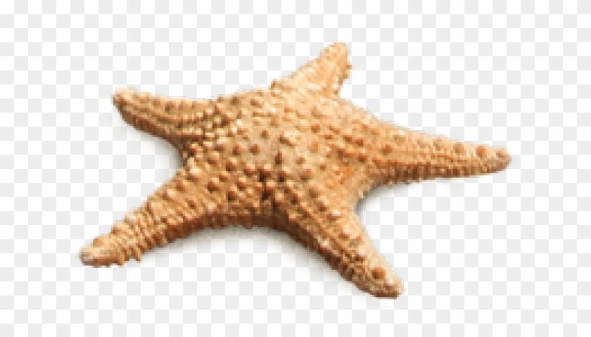 Transparent Starfish Png, Png Download.