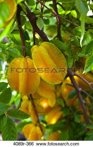 Stock Images of Carambola star fruit growing in orchard, close.