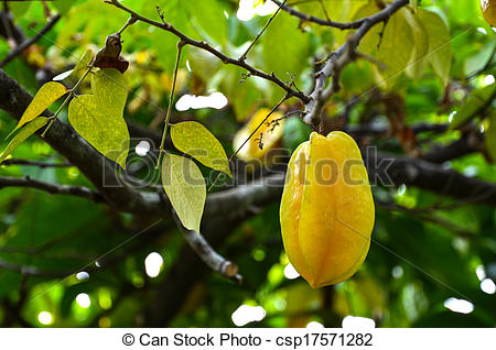 Pictures of Growing starfruit.