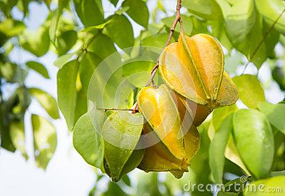 Starfruit On The Tree Stock Photo.