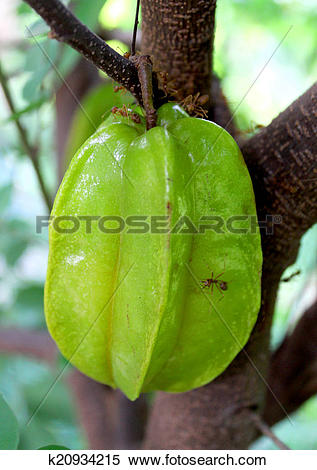 Stock Image of Star fruit and Star apple fruit food k20934215.