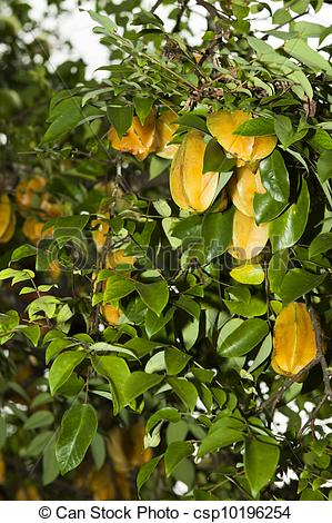 Star fruit tree clipart #19