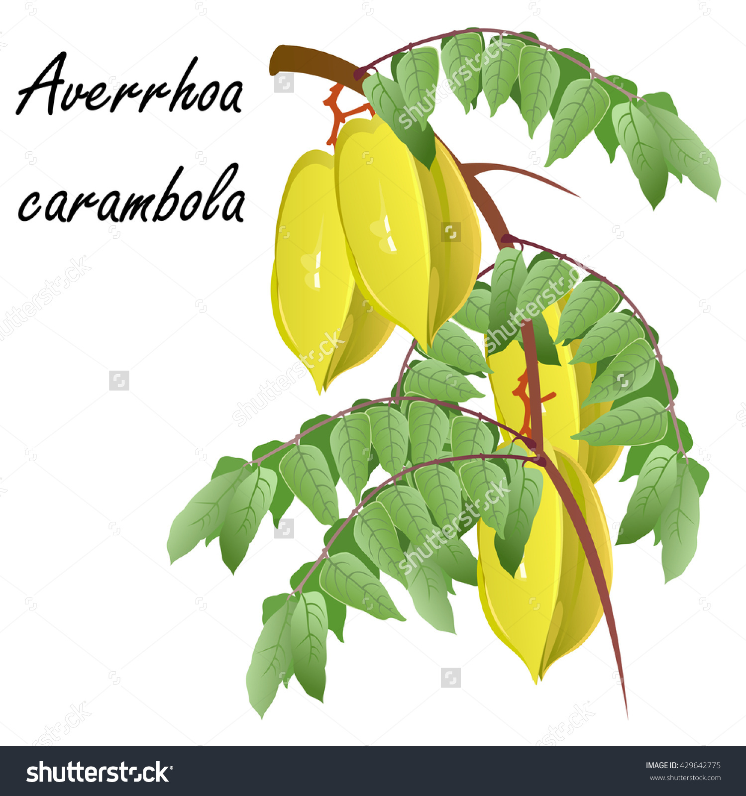 Carambola (Averrhoa Carambola, Star Fruit). Hand Drawn Vector.
