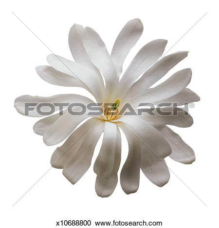 Stock Photography of Star Magnolia Close.
