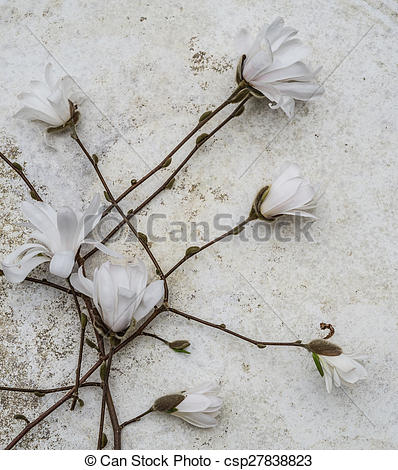Stock Photo of Aerial view closeup blossoming star magnolia.