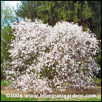 Star Magnolia Tree.