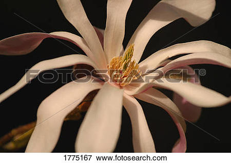 Picture of Star magnolia flower 1775167.