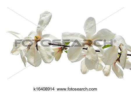 Stock Photo of White star magnolia flowers isolated k16408914.