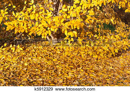 Stock Photograph of Yellow Leaves Falling Star Magnolia Tree in.