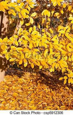 Stock Image of Yellow Leaves Falling Star Magnolia Tree in Autumn.